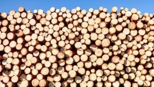 Dari Primorye ke China membawa gerabak kayu