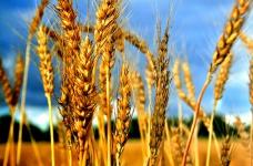 กระทรวงเกษตรได้ปฏิเสธที่จะยกเลิกภาษีส่งออกข้าวสาลี