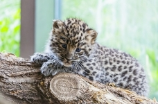 A foreigner tried to smuggle two small leopards and a tiger cub out of Krasnodar