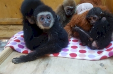 แขกของอูราลซ่อนตัวลิงจากด่านศุลกากรภายใต้หน้ากากแมว